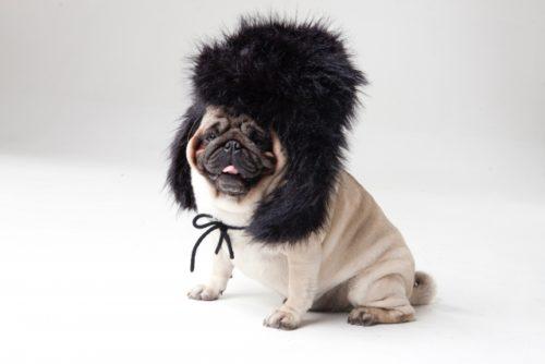ロシア帽をかぶる犬